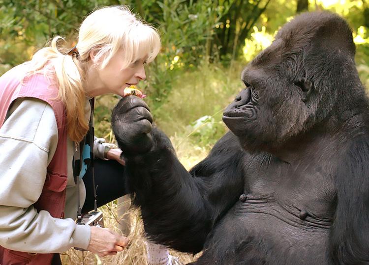 ゴリラのココと、ココに手話を教えた動物心理学者のパターソン博士
