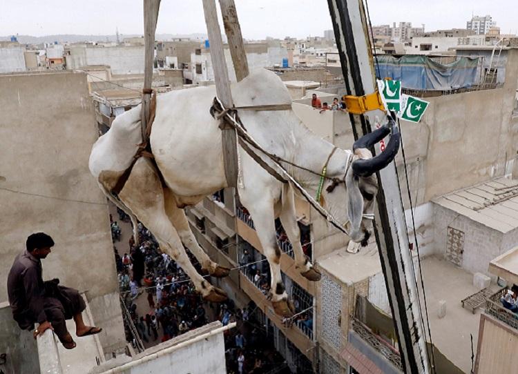 毎年恒例となった牛を下ろす光景は、多くの住民の注目の的だ。REUTERS