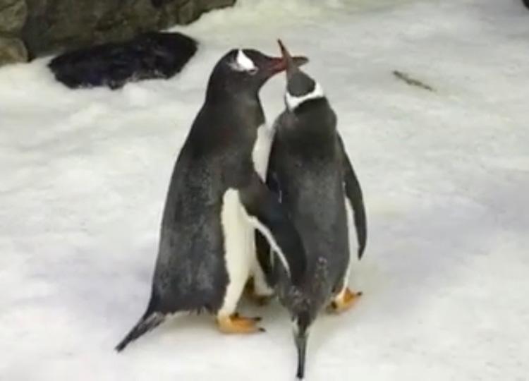 豪水族館のペンギンカップル、雄同士で仲良く卵を温めることに