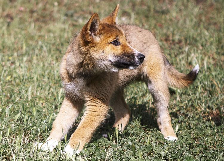 見つかった「迷い犬」は絶滅危惧種 豪民家の裏庭でディンゴを保護
