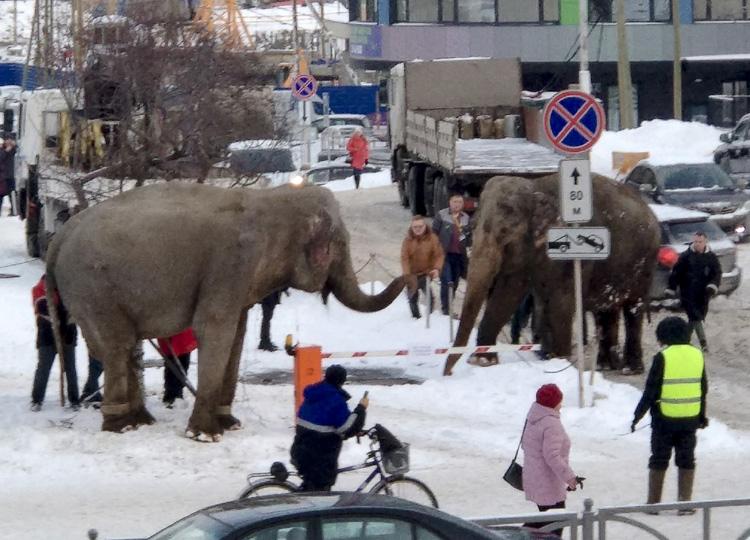 ロシア、サーカスから象2頭脱走 雪で遊んでいるところを確保