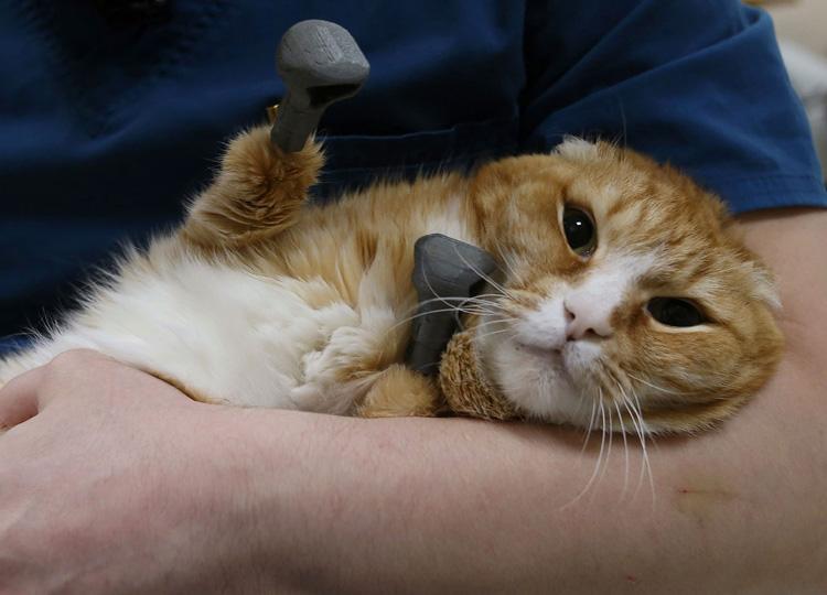 シベリアで凍傷により四肢を失った猫 チタン製の足であるけるように