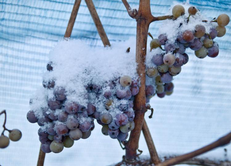 暖冬により、歴史ある高価なワインを作ることができなかった。