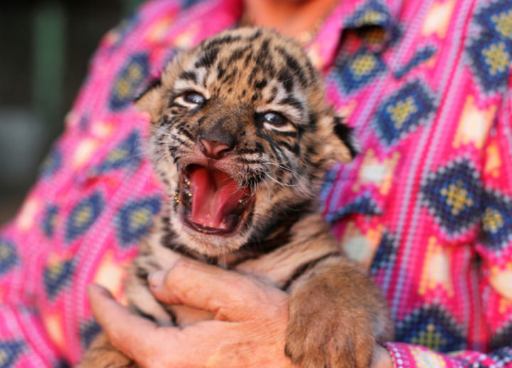 Birth of baby Bengal tiger 'Covid' brings hope to small zoo in Mexico