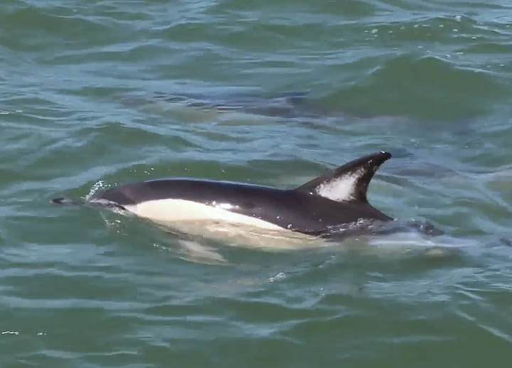 Dolphins return to Lisbon's Tagus river, leaping into social media popularity