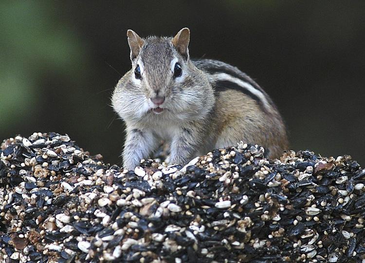 シマリスがアメリカで大繁殖 食料のドングリが豊富だったことが原因か