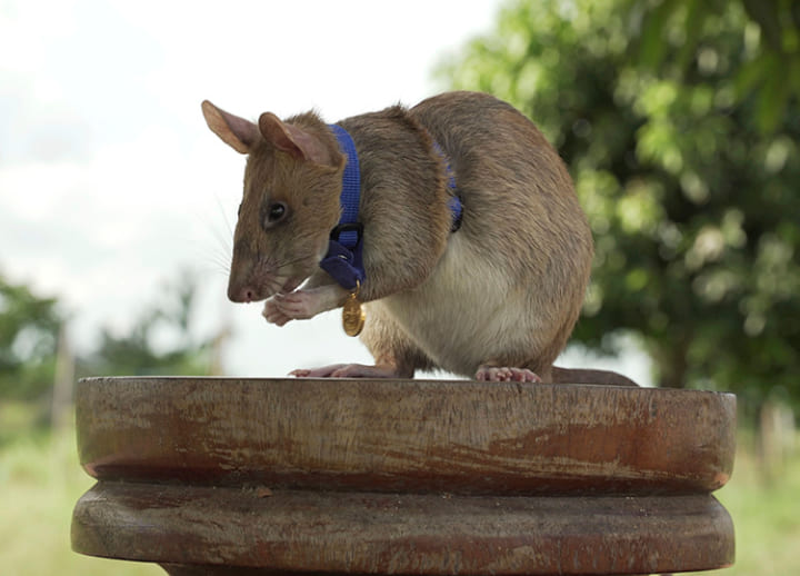 Giant rat wins animal hero award for sniffing out land mines in Cambodia