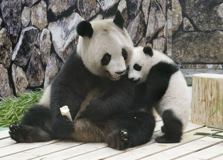 Giant panda cub displayed in same room as mother for 1st time in Wakayama zoo