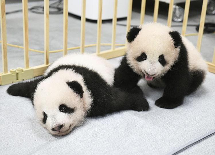 上野動物園のパンダの赤ちゃん、名前がシャオシャオとレイレイに決定