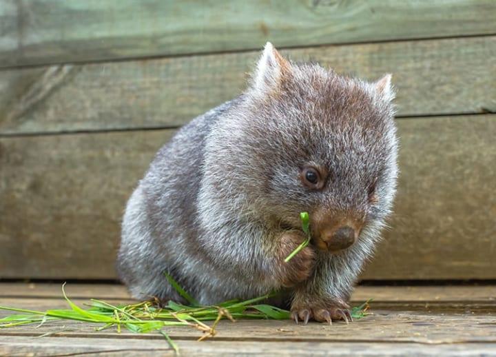 Wombat Day